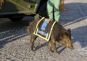 17405847-un-jabali-los-legionarios-mascota-en-el-sur-de-espana