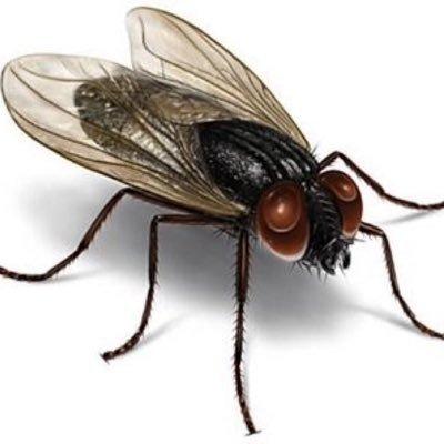 mosca-cojonera